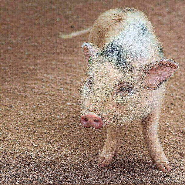 Giải mã giấc mơ thấy lợn, mơ thấy heo đánh con gì?